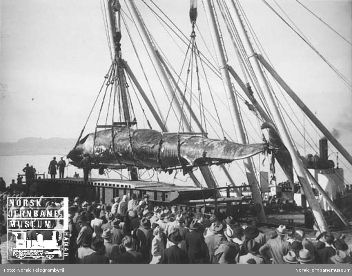 Transport av hval på tysk spesialvogn