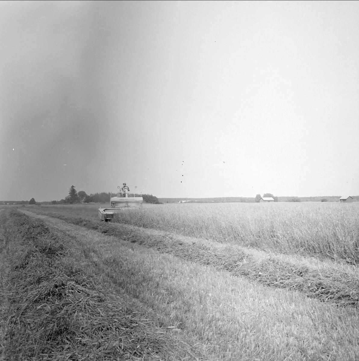 Fin höstskörd i Tierp, Uppland juli 1973