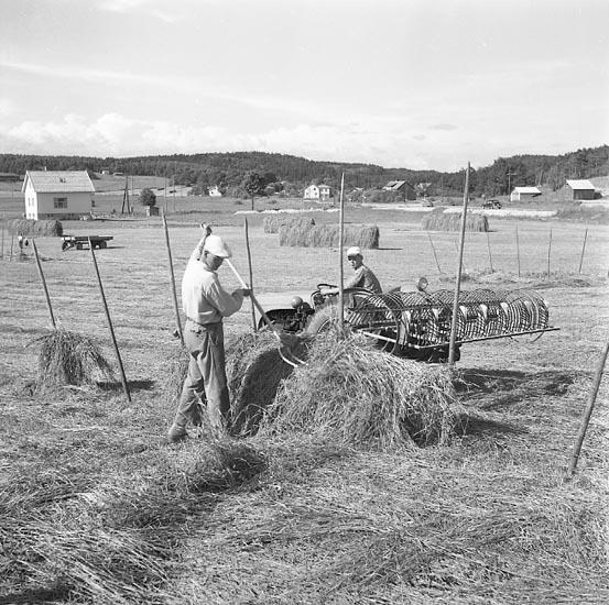 Höbärgning i Grohed, söder om Uddevalla, den 5 juli 1955
