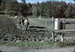 Jordbearbetning med två hästar och harv vårtid. På intilligg