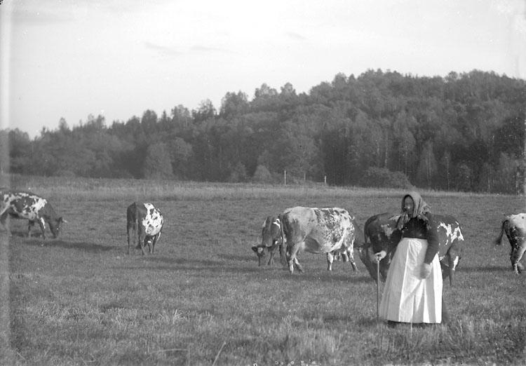 """Enligt noteringar: """"5 oktober 1920. Beställare av fotot är Otto Andrén (eg. Otto Julius Olofsson). Hans gamla mor Kristina Andersson f. Jakobsson, hade vallning på sin lott.  Hon var född 1836 och dog 1922, 86 år gammal.  På gården fanns också en mormor och hon hade innesysslor på sin lott, alltså en klar arbetsfördelning mellan de två gamla."""" (BJ) (Id.: Hugo Dahlberg)"""
