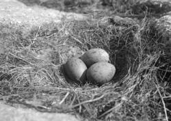 Maj 1924. Fiskmåsbo med tre ägg, på Hållö. ::