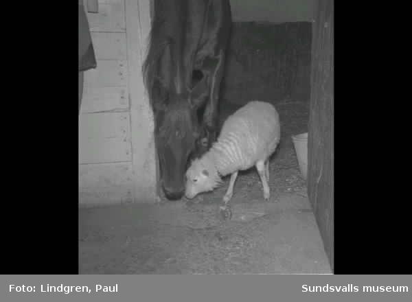 Interiör från ett stall i Bergsåker. Häst och ett får.