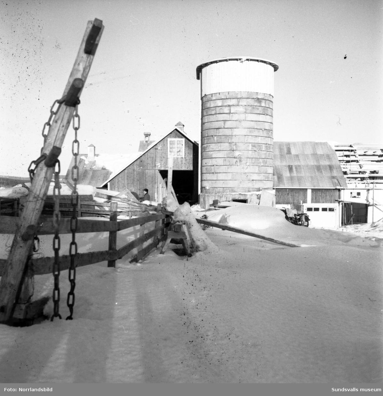 Mjölkning, utfodring av korna och övriga sysslor i ladugården på en stor gård i Sörfors, Attmar.