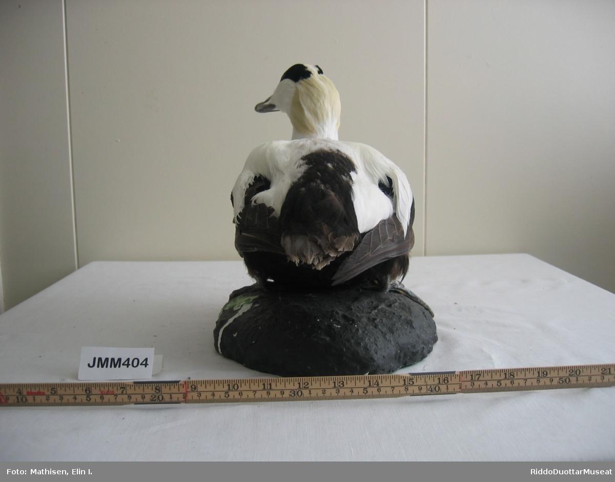 Utstoppet fugl. Kjennetegn: Hann-fugl. Fuglen sitter på en tillaget stein