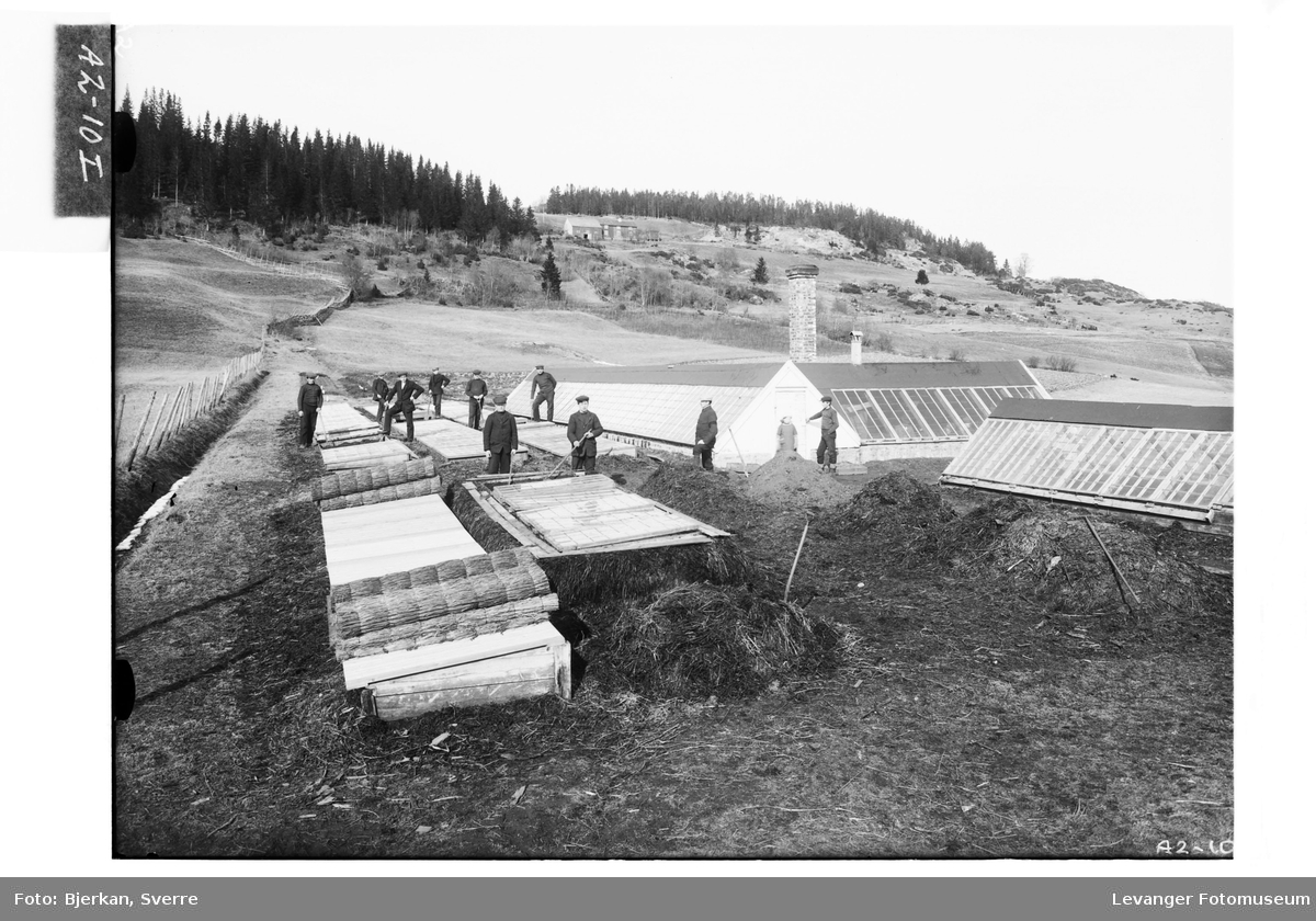 Grønnsaksdykning  i drivbenker med drivhus i bakgrunnen, tildekking med halmmatter. Fra Hylla havebrugsskole.