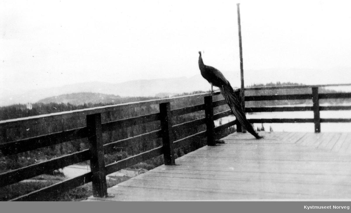 Påfugl på veranda.