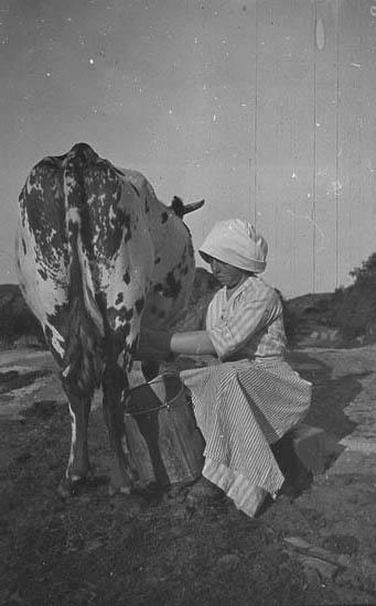 """Kon mjölkas. """"Man kan ju föreställa sig att betet ej är så frodigt här bland berg och stenar utan kon får beta sig till det mellan klyftorna. Torra sommrar är det nästan omöjligt för dem att skaffa något foder."""""""