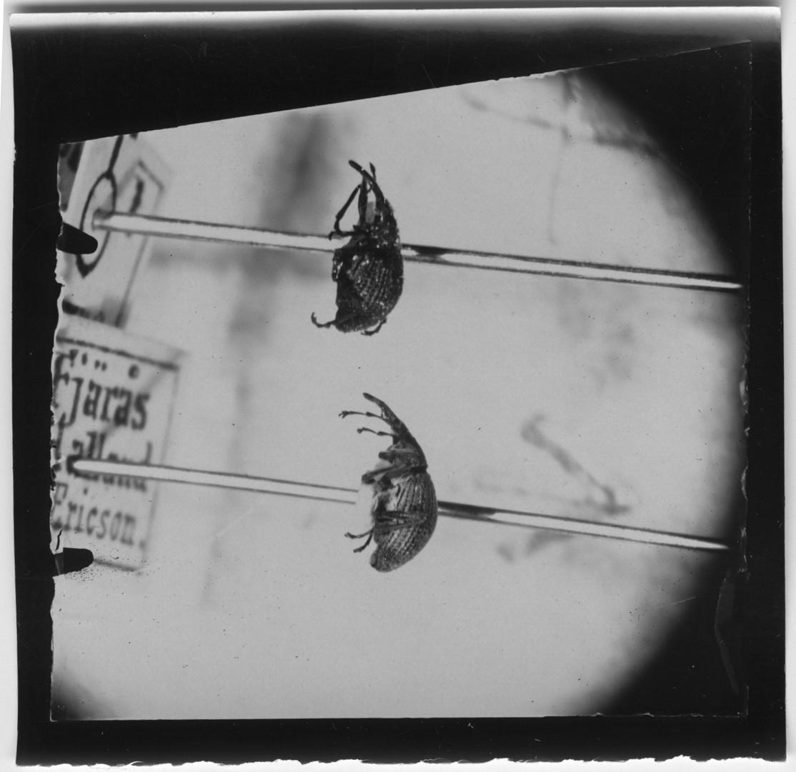 2 st skalbaggar sedda från sidan.