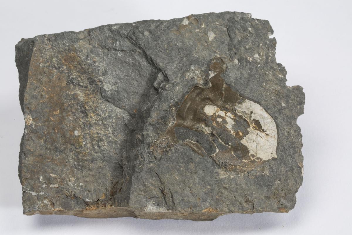 Fossil STORT CEPHALON