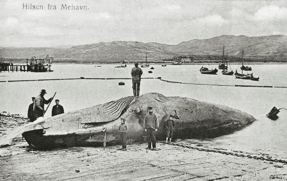 Et av de første fotografier fra Mehamn. En hval er dratt på land på flenseplassen. Marthin, sønnen Georg, og en annen gutt står foran hvalen. Marthins fulle navn var Marthinus Berg Lillevik, var født i Narvik 27.4.1860 og døde i Mehamn 16.2. 1924 Han var bror til Ole G. Lillevik. Begge var gift med to søstre, døtre av Lockert Olaussen. Georg ble født 1.5.1894 og døde 4.5.1919. Han var sønnen til Marthin. Hans søster Ragnhild Lillevik Simonsen født 30.4.1902 lever forsatt i Mehamn.  Hun hadde dette postkortet.