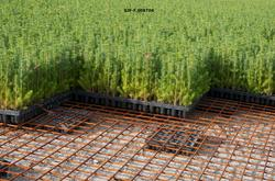 Granplanter i pottebrett ved Telemark planteskule ved Gvarv