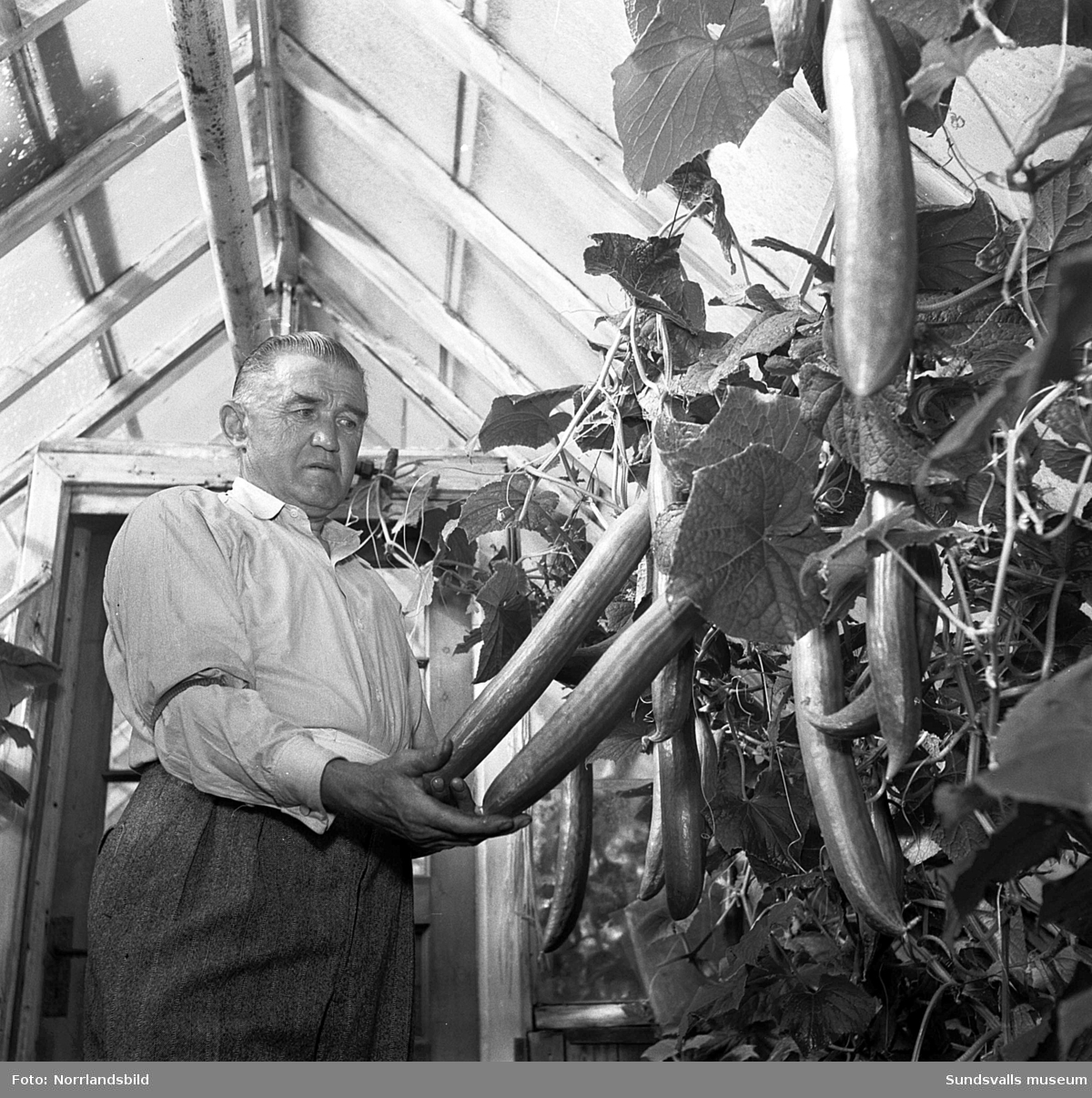 Herr C. Tidén, posten, födelsedagsfoto. Herr Tidén i trädgården och i växthuset.