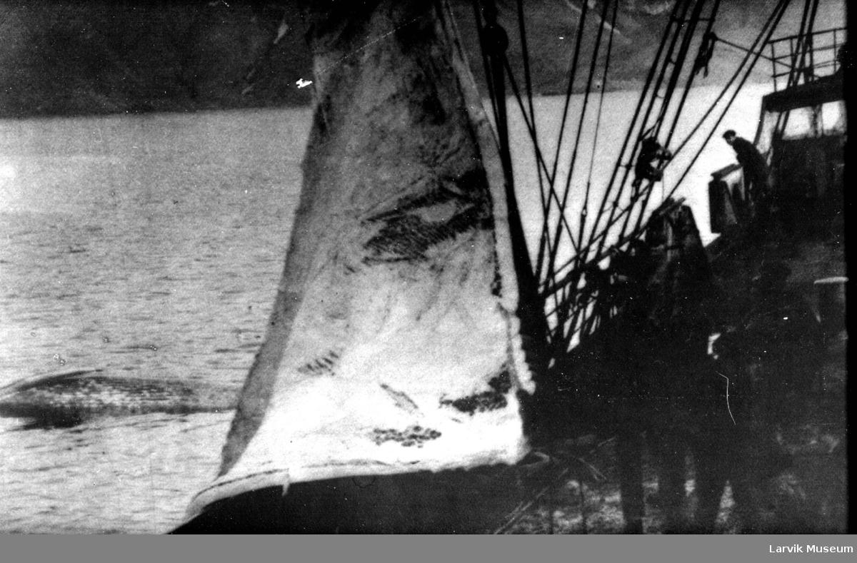 Flensing av hval på dekk