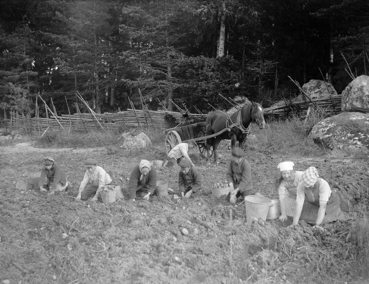 Potatisplockning i Sävasta, Altuna socken, Uppland 1920