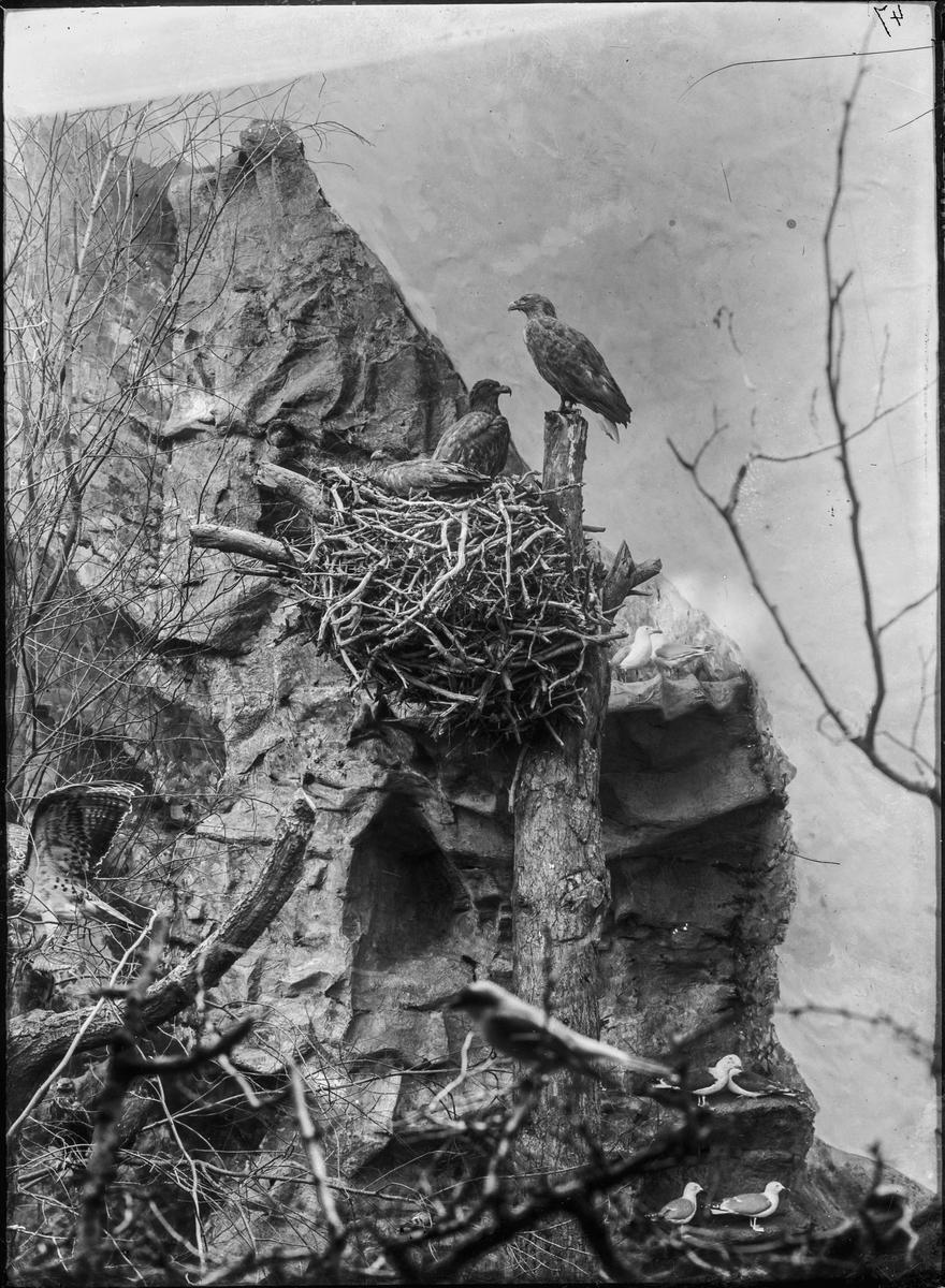 Diorama från Biologiska museets utställning om nordiskt djurliv i havs-, bergs- och skogsmiljö. Fotografi från omkring år 1900. Biologiska museets utställning Örn Havsörn Haliaeetus Albicilla (Linnaeus)