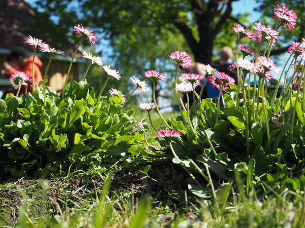 Tusenfryd (Bellis perennis). Foto/Photo