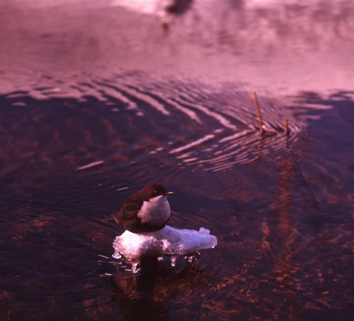 Strömstare sitter och vilar sig på en liten isfläck ute i vattnet.