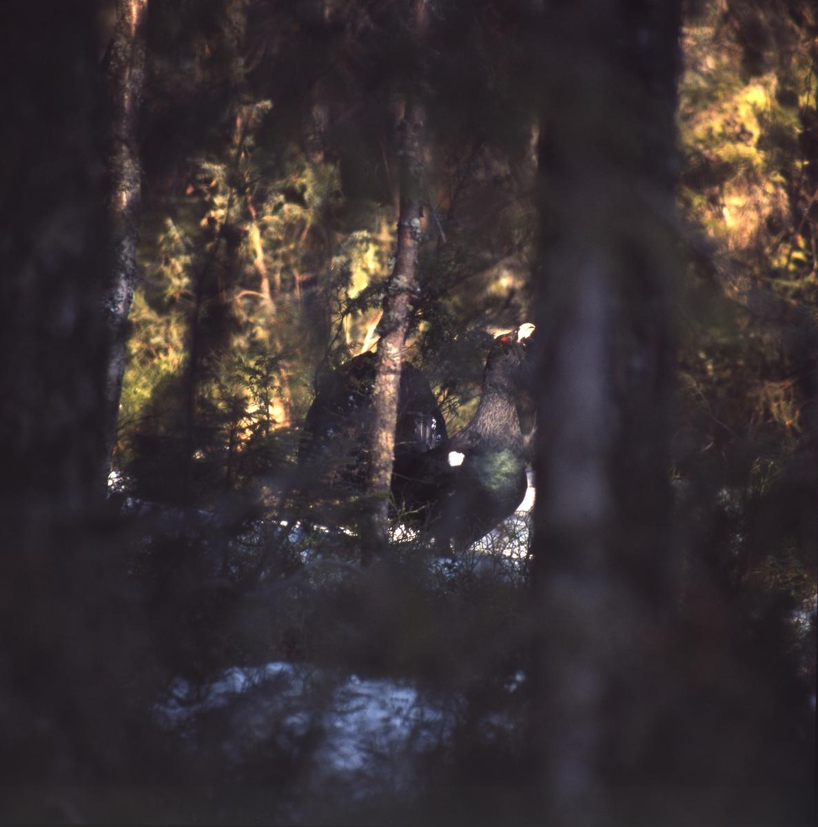 En tjädertupp skymtar mellan stammarna i skogen.