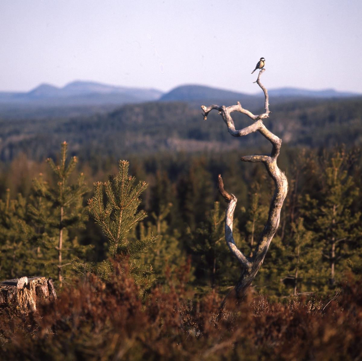 Talgoxe sitter i toppen av en torraka, med fin utsikt över landskapet med berg och skog.