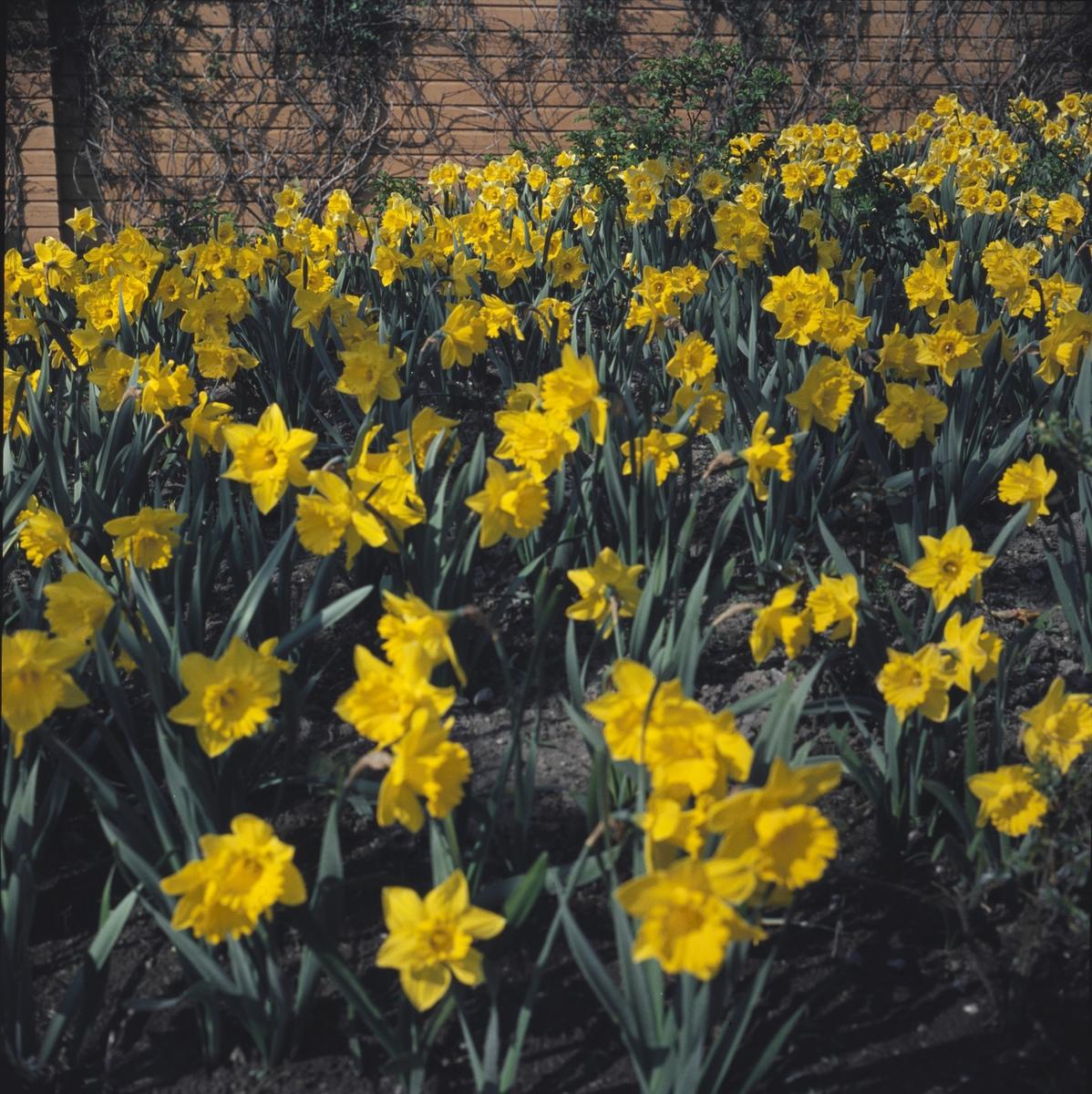 Blommande påskliljor i Rosenträdgårdens rabatt.