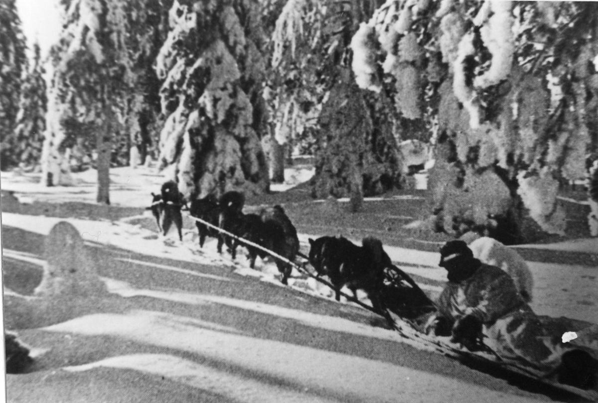 Finlandsfrivilliga använde draghundar i den snöiga terrängen.