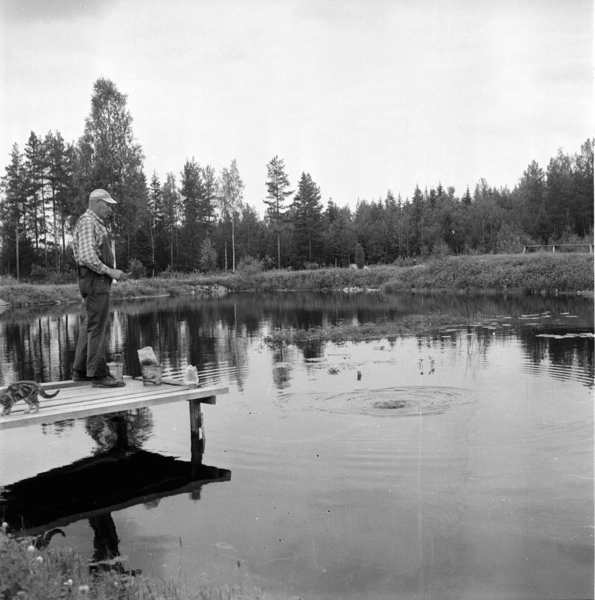 Järvsö-Nor. Öringsodling i Nor. Olof Olsson.  8/8-1960