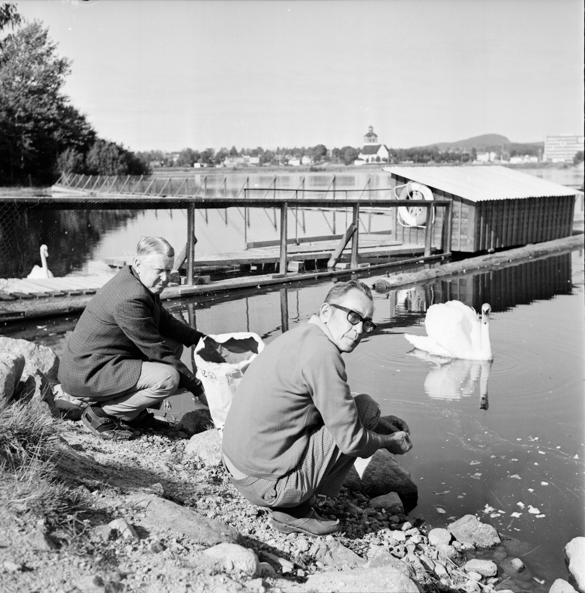 Bollnäs, Fågelliv på vågen, Svan på vågen, Aug 1970