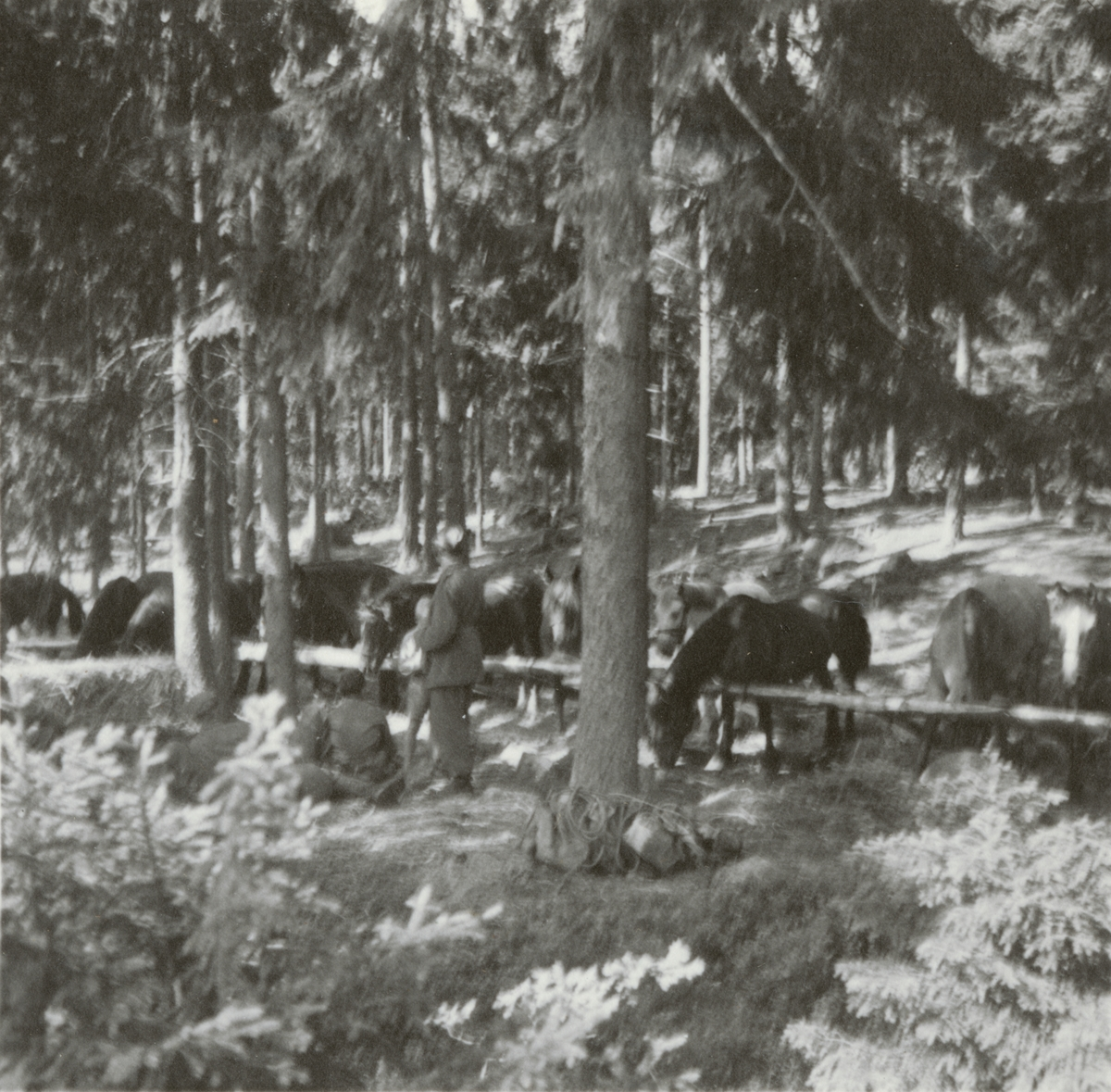Hästar vid bivack.