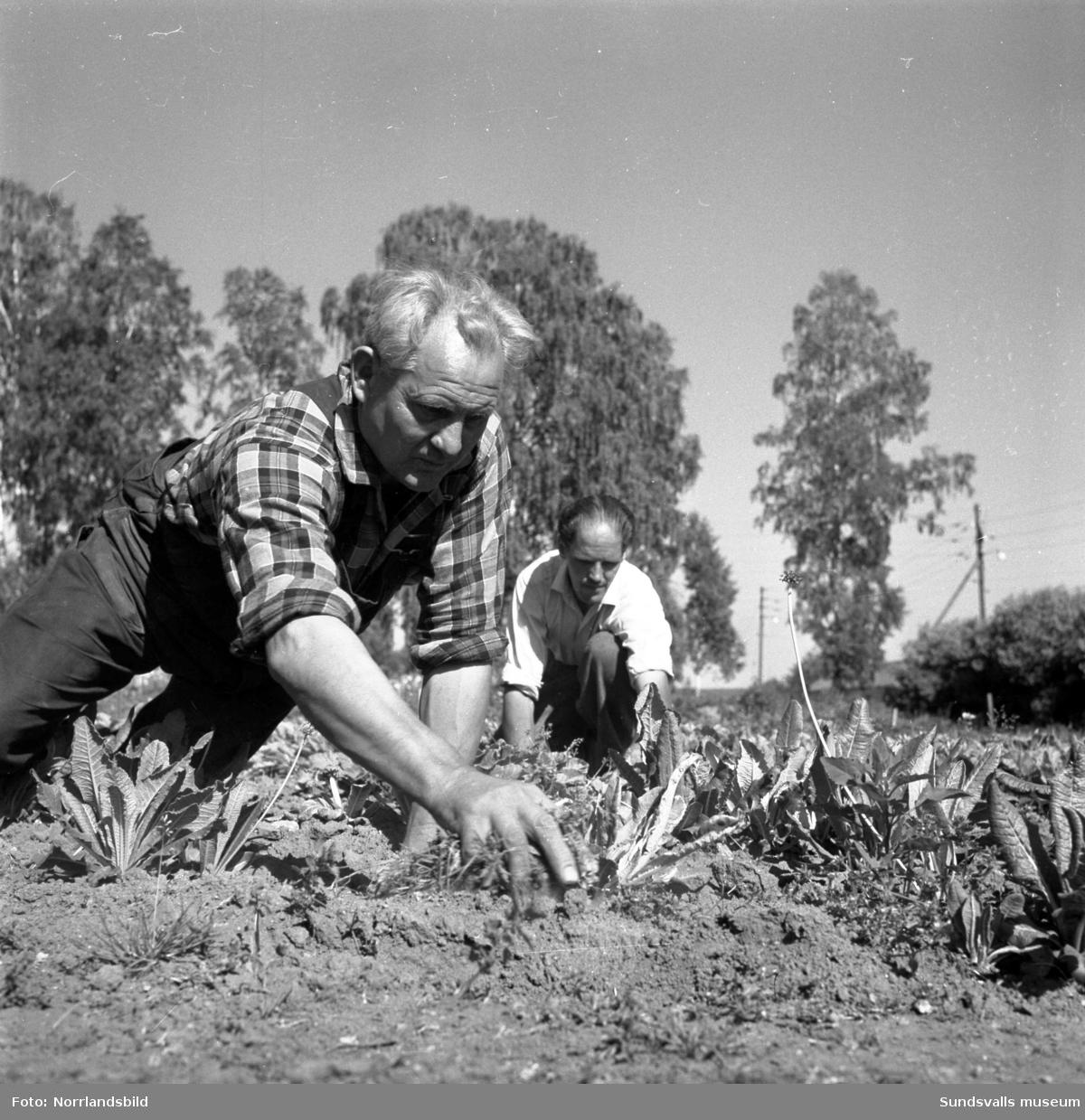 Trädgårdsarbetare bekämpar ohyra på växter 1959.