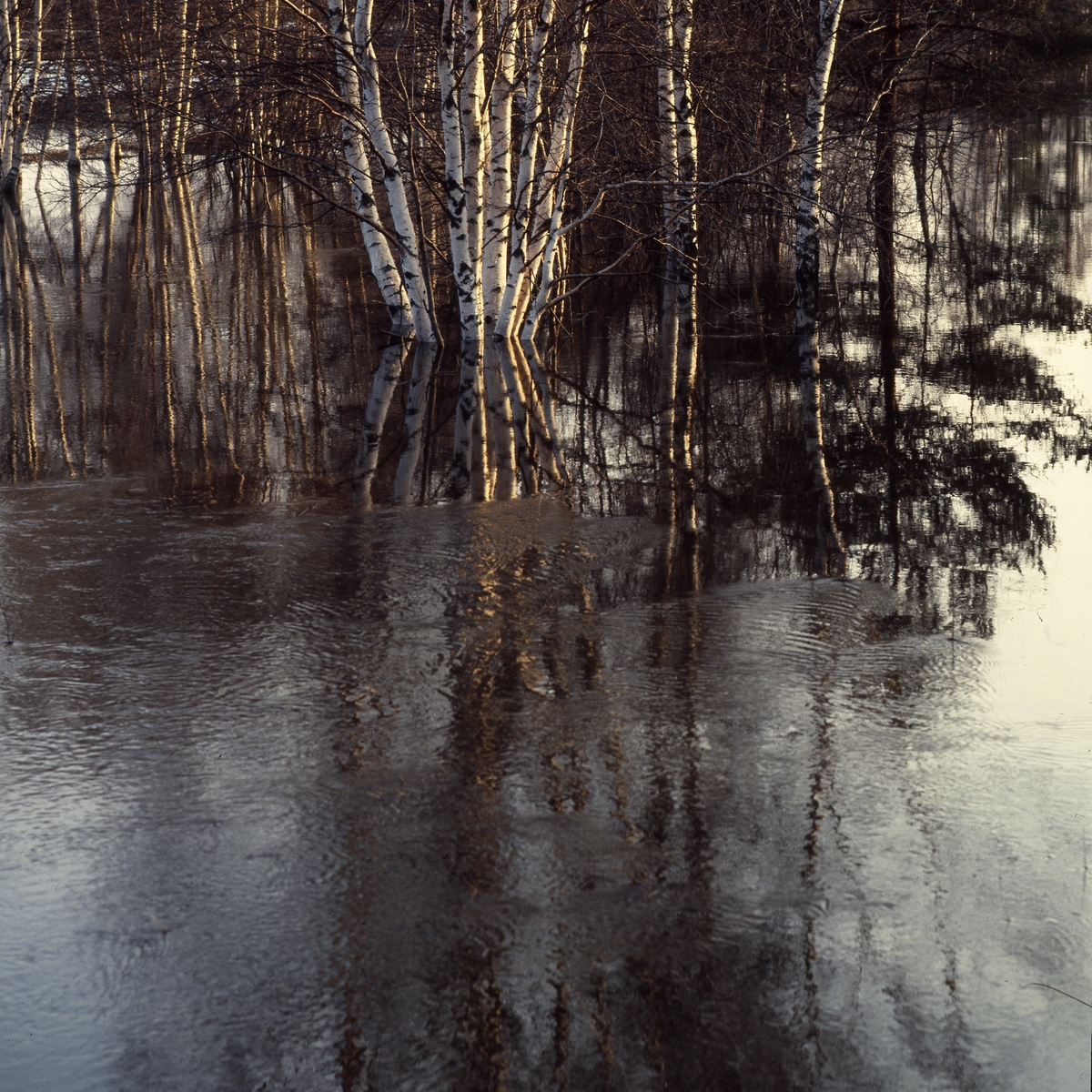 Björkar i vårvatten, 1982.