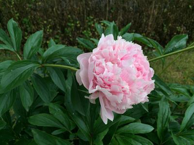 Silkepeon / Paeonia lactiflora 'Albert Crousse'. Foto/Photo