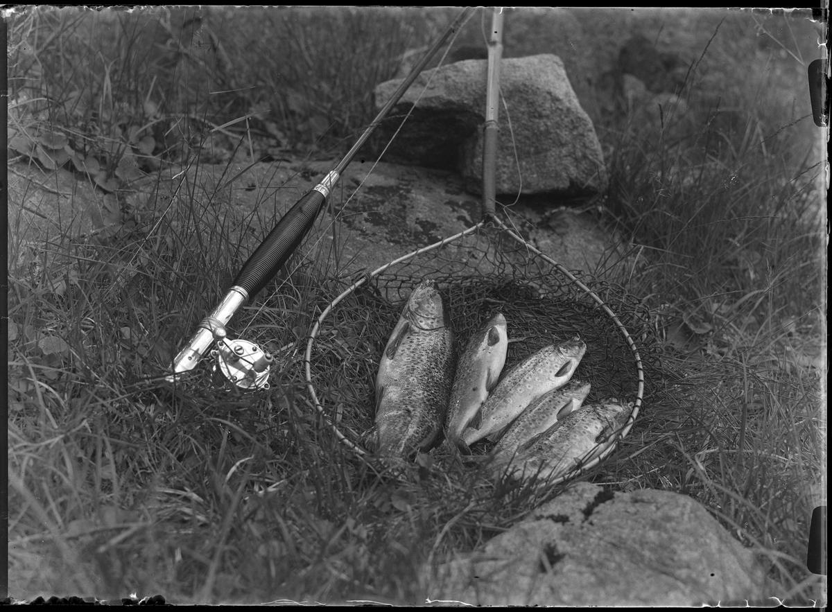 Bild av fem laxöringar i en håv. Bredvid ligger ett fiskespö.