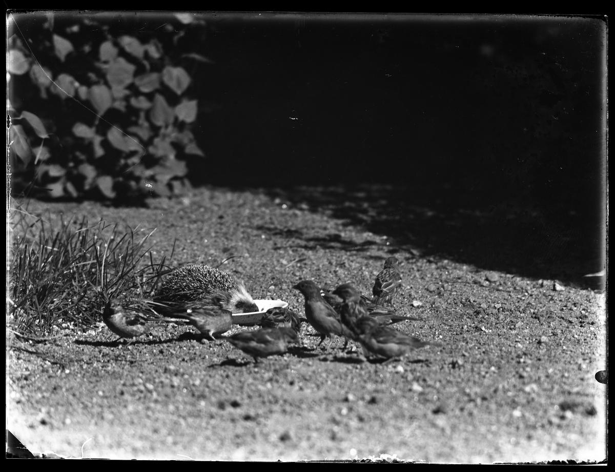 En igelkott äter från ett framställt fat medan ett antal sparvar står bredvid.