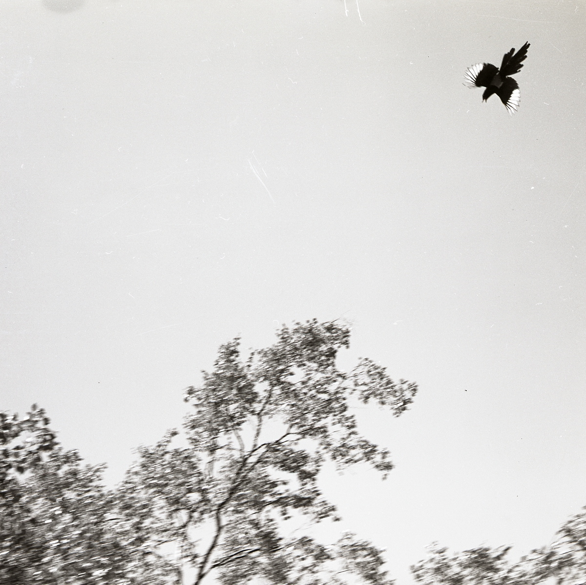 Flygande skata sommaren 1969.