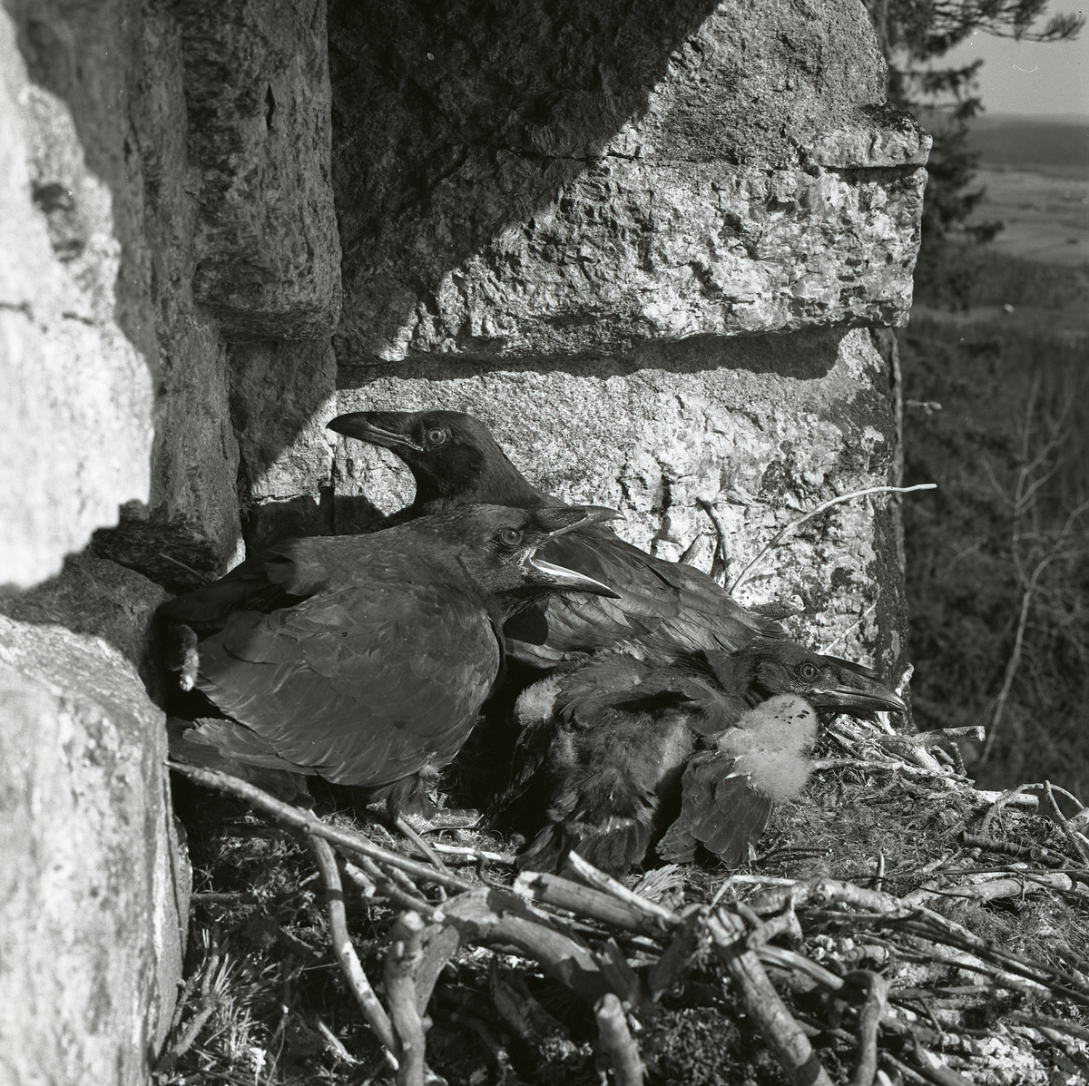 Närbild av korpungar i bo på en klipphylla i maj 1962.