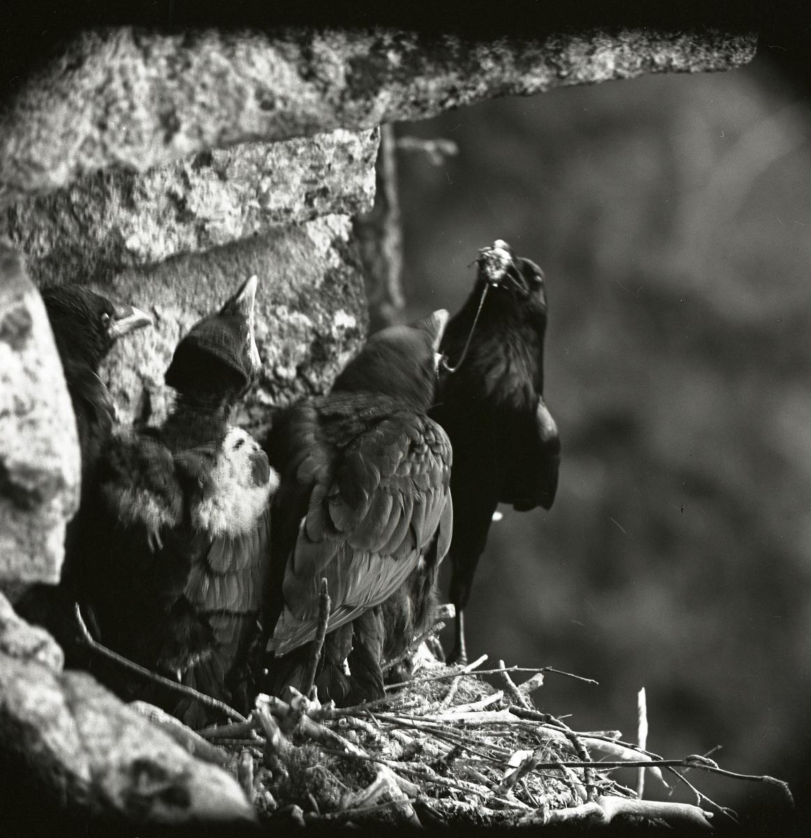 Korpungar matas i bo på ett klippblock, Gruvberget i maj 1962.