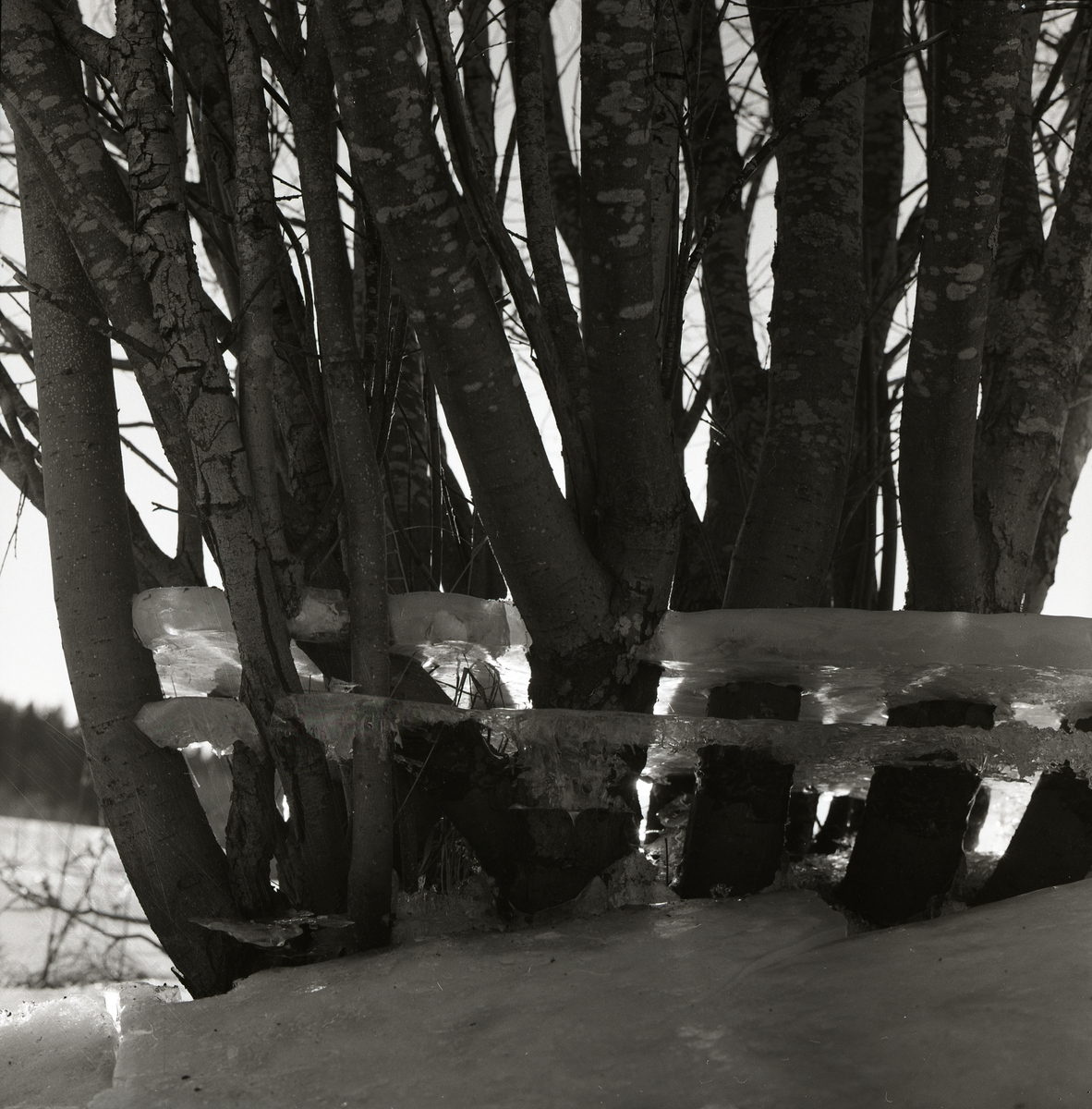 Ett isflak fastfryst runt några videstammar den 8 april 1956.
