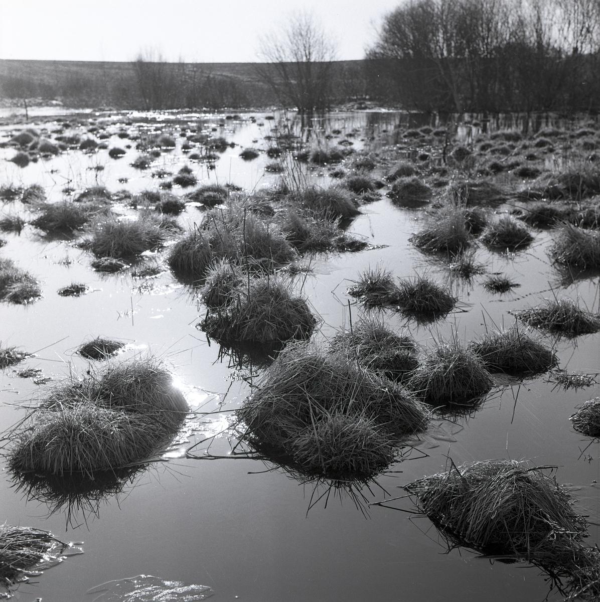 Grästuvor i vårvatten den 23 april 1960.