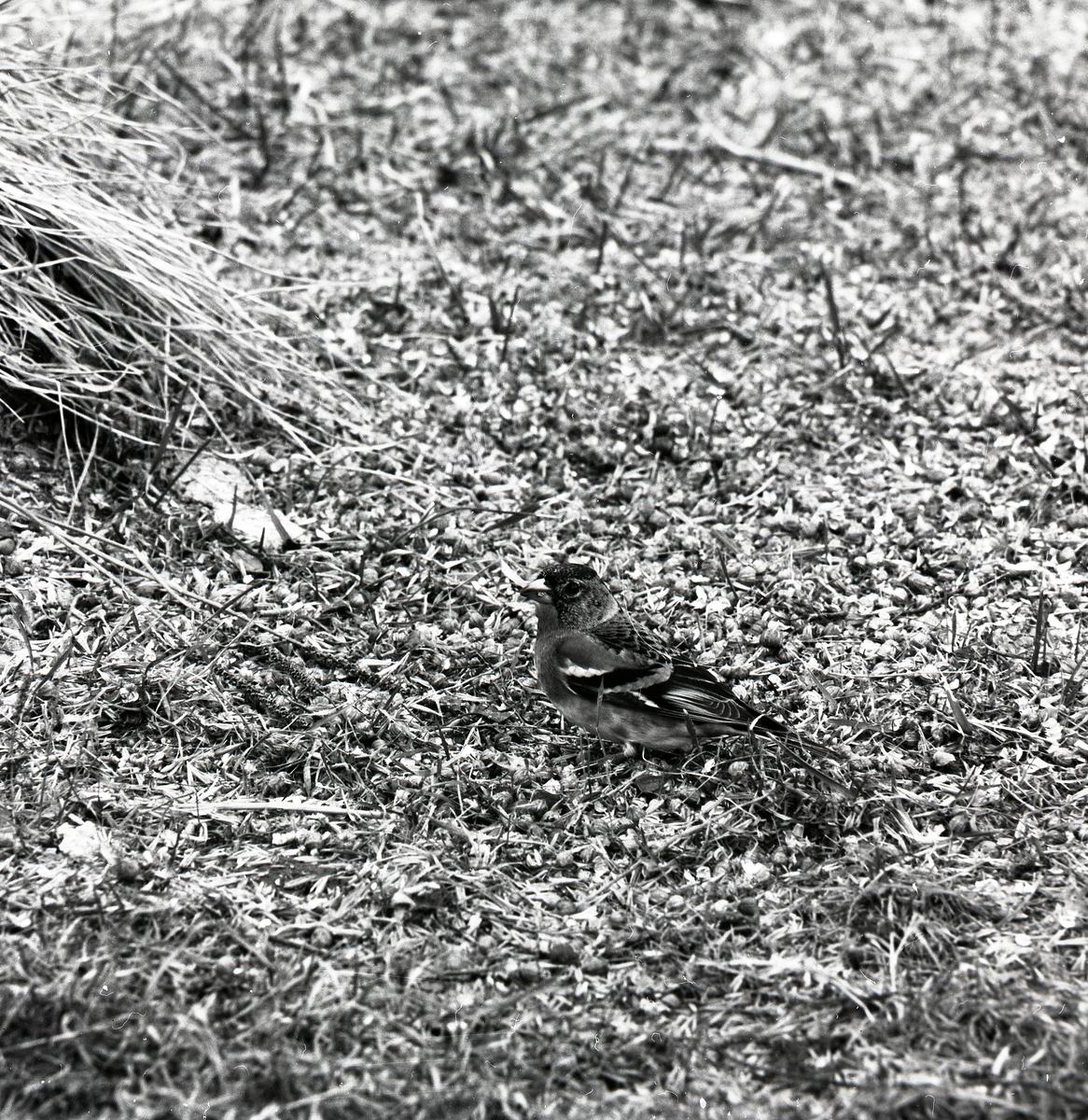 En bergfink står på marken i april 1976.