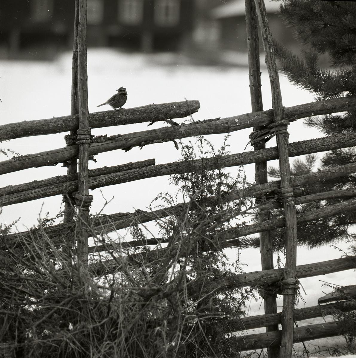 En törnskata sitter på en gärdesgård.