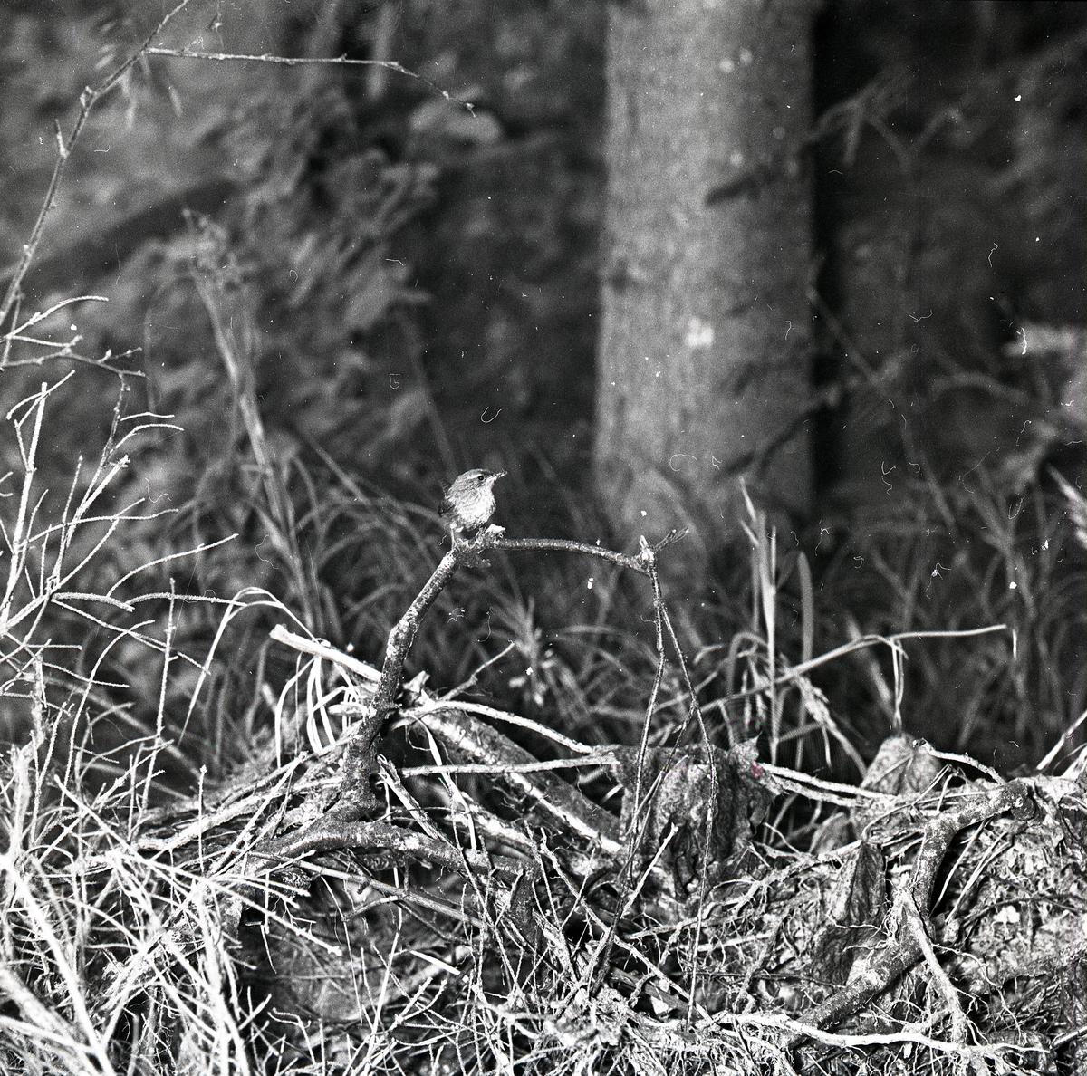 En svartmesunge bland grenar och kvistar i Älvkarhed, augusti 1960.