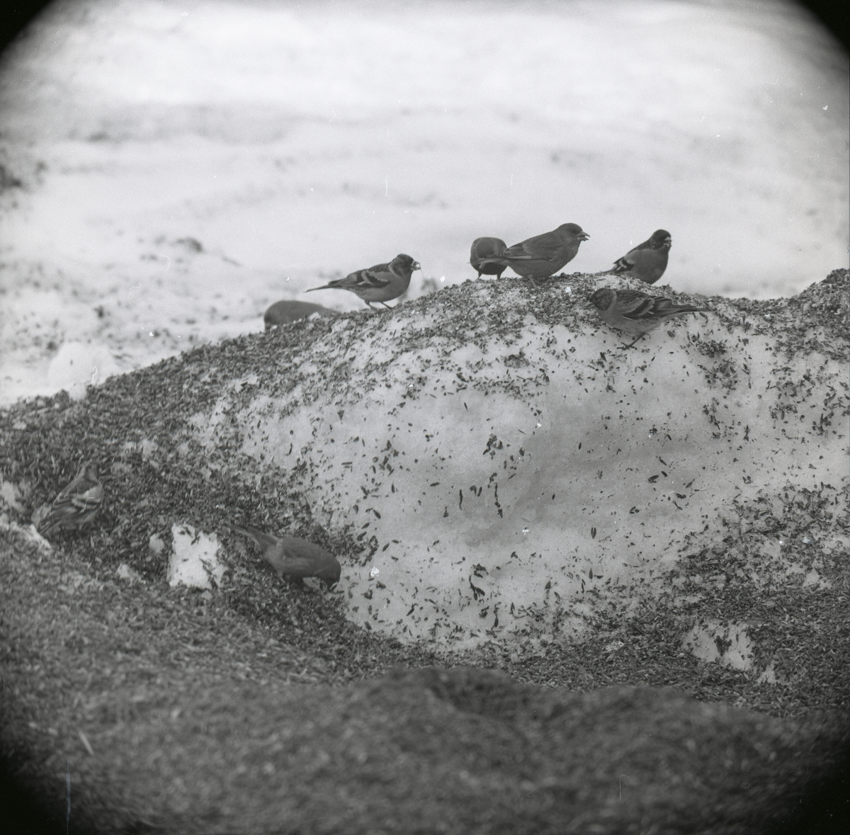 Bofinkar och grönfinkar står i snö som är täckt med sädeskorn, våren 1968.