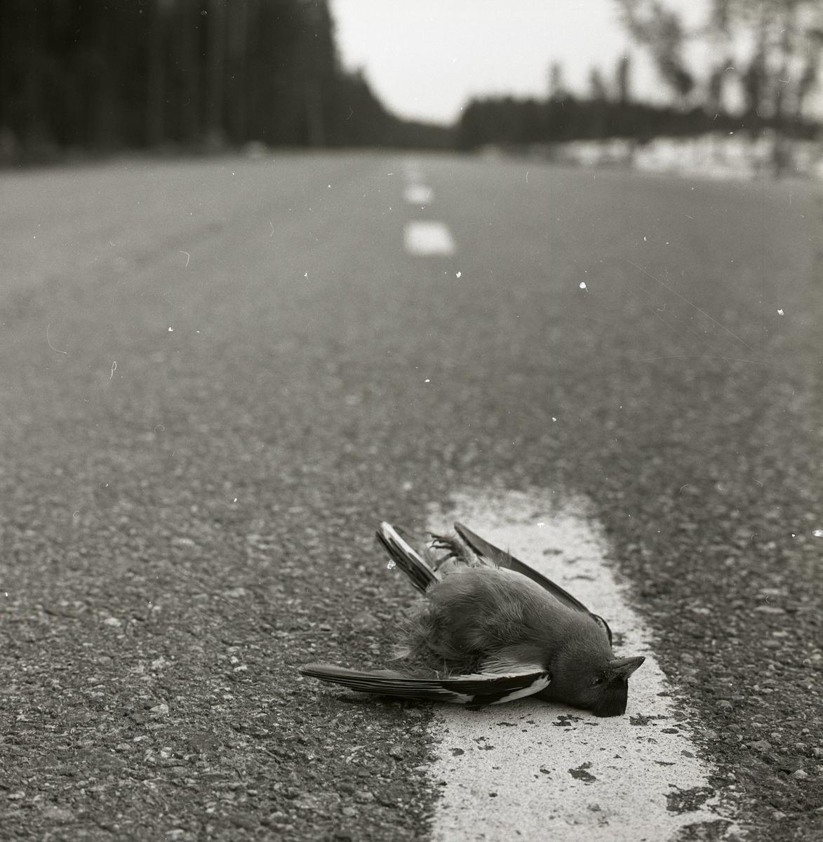 En död bofink ligger på en väg under våren 1966.