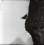 Silhuetten av en nötväcka på ett träd vid Bräkne-Hoby, 2 april 1947.