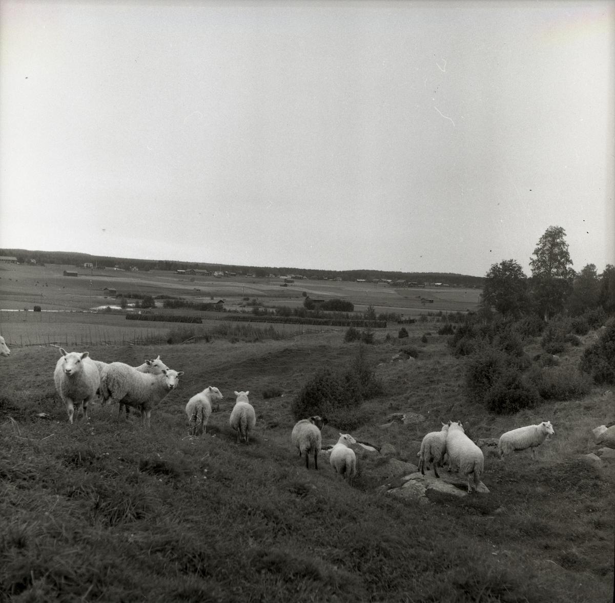 En fårhjord på betesmark.