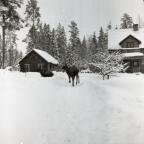 En grupp älgar står på en gård i Skalby, 1 februari, 1953.