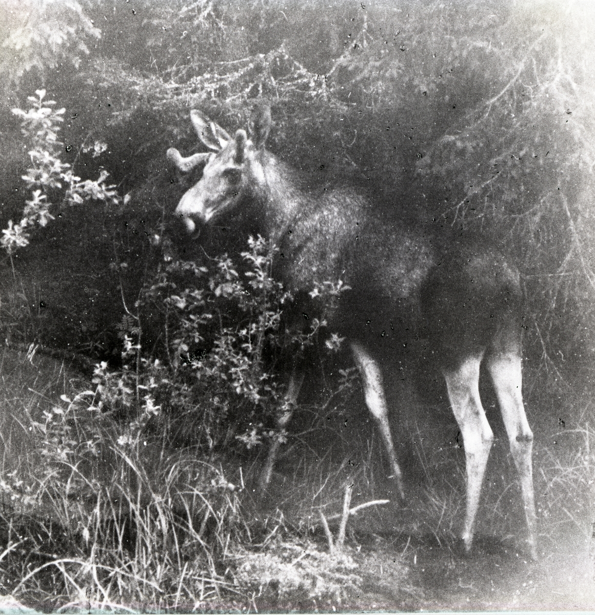 En älg i skogsbryn, Värmland 1961.