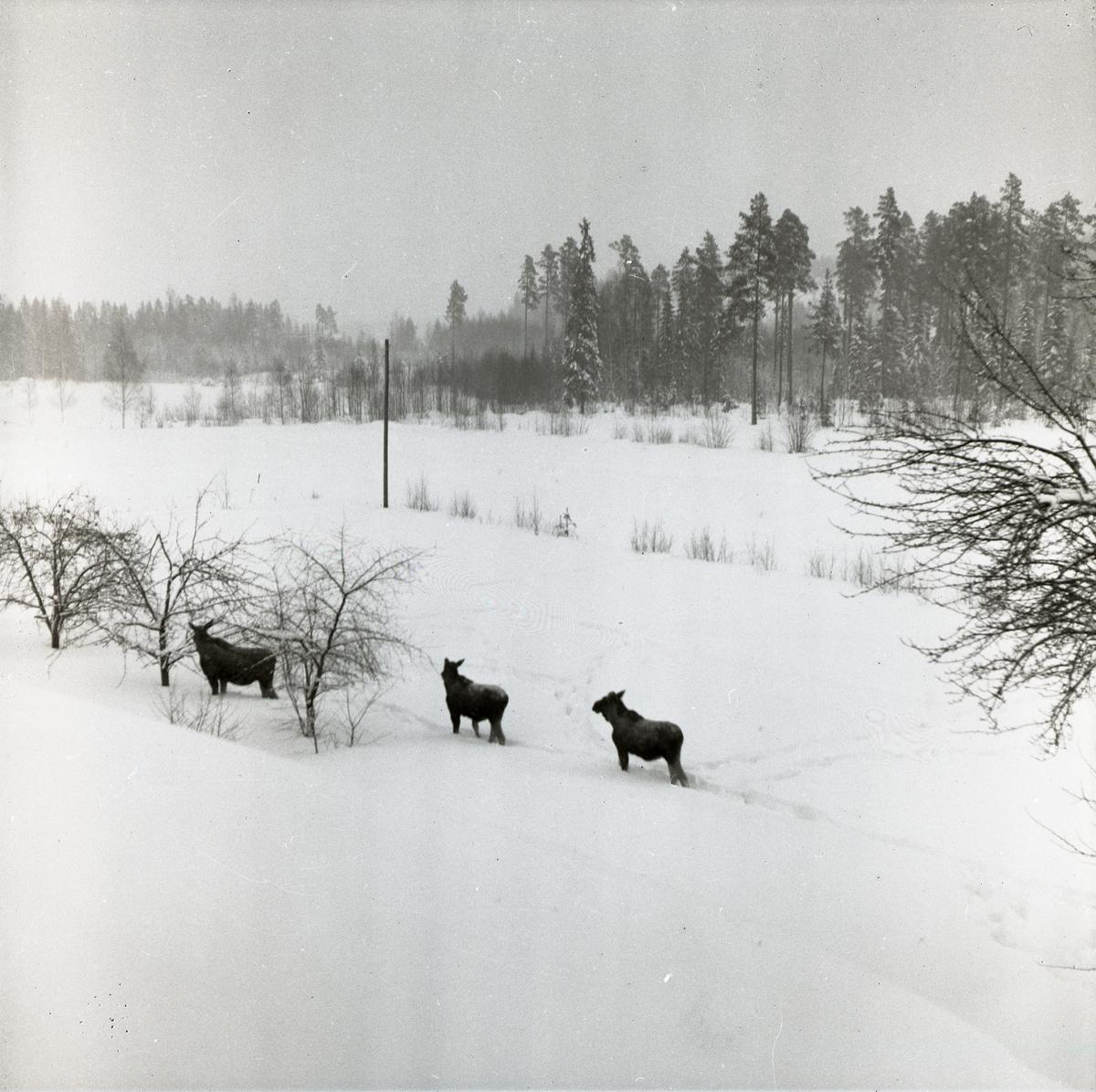 Tre älgar på vandring i snön, Skalby 1 februari 1953.