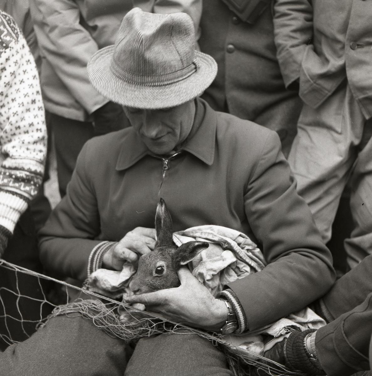 En man har en hare i sitt knä och undersöker den vid harfångsten på Storön, 6 oktober 1957.